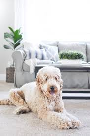are you looking for a new pet and family friendly carpet the pet proof carpet