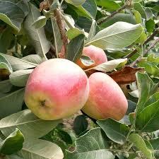 sweet patio peach tree