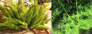 asparagus groundcovers are hardy drought resistant bedding plants they prefer semi shade conditions but will survive in full sun or shade