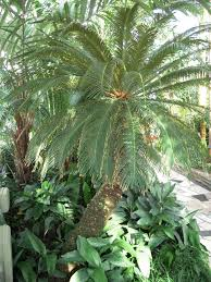 Sago Palm And Dogs Sago Palm Poisonous To Dogs And Cats
