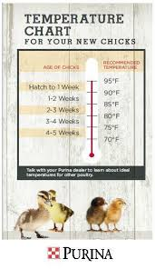 Growth Of A Chicken Chart 60 Eye Catching Weekly Chicken Growth Chart
