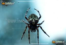 thumbnail image 3 of the orb weaver