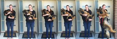 Puppy Weight Chart German Shepherd Couple Capture Dogs Extraordinary Growth Over 8 Months