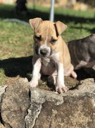 1 Gold Tan American Staffy Girl Puppy Dogs Puppies