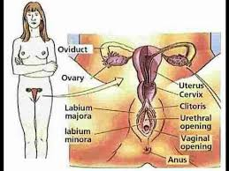 Womens Anatomy Chart Anatomy And Physiology Of Female Reproductive System