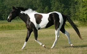 black and white paint horse wallpaper. Interesting Wallpaper Black And White Tobiano Paint By Venomxbaby  And Black White Paint Horse Wallpaper