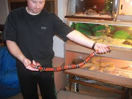 milk snake size se england male milk snake for sale reptile forums