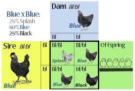 Poultry Genetics Scratch Cradle