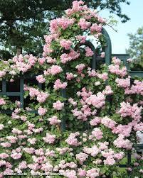 rosa climbing pinkie peggy rockefeller rose garden