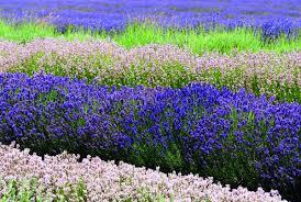 Výjimečná levandule | Flóra na zahradě