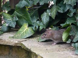 rat urban garden