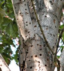 Asian longhorned beetle impacts enviornment