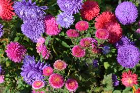 free images nature bloom bush bouquet blue pink flower bed bright aster day lilac floristry astra autumn flowers ornamental plant garden