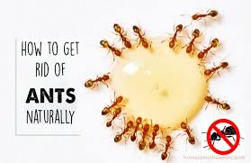 22 effective home remes for natural ant control keep your kitchen ants free