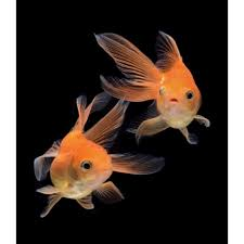 fantail fish. Beautiful Fantail Red Fantail Goldfish In Fish A