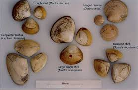 Clam Identification Chart Surf Clam Research Coming Soon To A Beach Near You Niwa