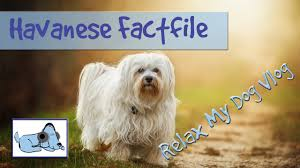 Small Picture Everything you Need to Know about Havanese Dogs Behaviours