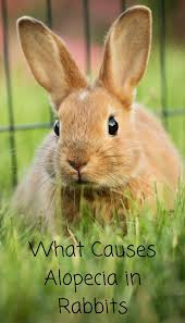 rabbit without fur. Interesting Fur When You Notice Your Rabbit Is Losing Fur It Can Be Worrying And Puzzling  All At The Same Time Rabbits Of Ages Affected By Alopecia  To Rabbit Without Fur T