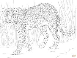 Stirring Leopard Coloring Pages Snow Leopards Page For Pdf Baby