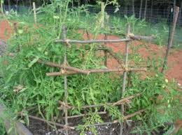 Diy tomato cage Wood Homemade Tomato Cage New Life On Homestead Homemade Tomato Cage New Life On Homestead Homesteading Blog