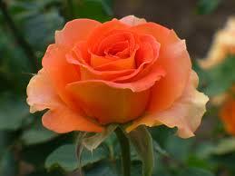 「オレンジの薔薇」の画像検索結果