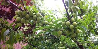 Learn How To Graft Fruit Trees So That You Can Have Multiple How To Graft Fruit Trees With Pictures