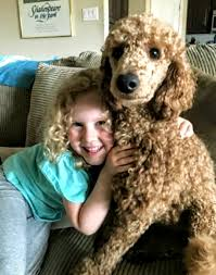 once a poodle has ingested a toxic substance there is a short 2 hour window to help save your poodle s life