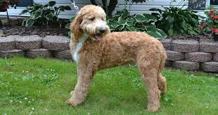 Goldendoodle Size Chart Goldendoodles Puppies Available Tlc By The Lake Standard