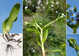 Myosotis sicula Guss. - Guida alla flora degli stagni temporanei della ...