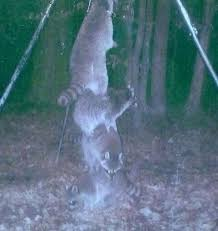 Raccoons In Vending Machine Interesting So I Set My Deer Feeder High Off The Ground So The Raccoons Couldn't