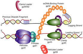 Dna Replication Definition Viruses Free Full Text Coordinated Dna Replication By The
