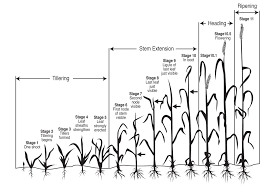 Winter Wheat Growth Stages Chart Nmsu Leaf Stem And Stripe Rust Diseases Of Wheat