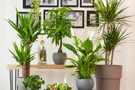 Una grande pianta da interni impreziosisce i tuoi interni. Piantiamoitaliano Alla Scoperta Delle Piante Verdi Italiane Da Interno Il Germoglio