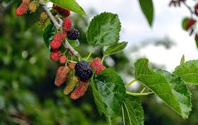 How To Tell If A Mulberry Tree Is Male Or Female  Garden GuidesMulberry Tree No Fruit
