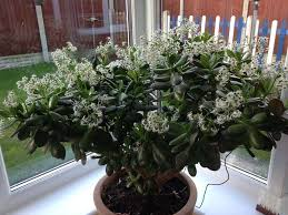 liz s jade plant has been flowering since the end of november