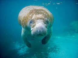 manatee wallpaper now cool