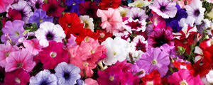 Imagini pentru flori chinezesti si coreene