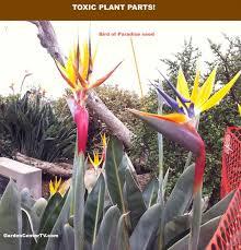 bird of paradise flower in bloom garden center tv