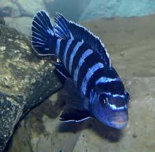 Small Picture 14 best Cichlids images on Pinterest Cichlids African cichlids