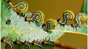 best organic pest control for vegetable garden is companion planting what to do pest control tips