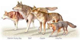 grey wolf size wolf facts what you should know in michigans u p the twin cedars