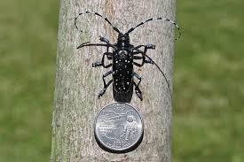 Asian Longhorned Beetle Ohioline
