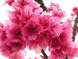 cherry blossom flower types