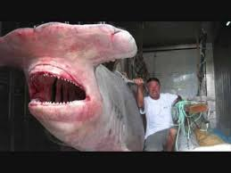 great hammerhead shark caught. Interesting Hammerhead MONSTER HAMMERHEAD SHARK CAUGHT NEAR NSW Intended Great Hammerhead Shark Caught _