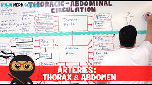 Circulatory System Arteries Of The Thorax Abdomen Flow Chart