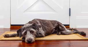 Apoquel For Dogs With Allergies Uses Dosage And Side Effects