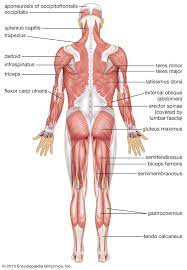 Rowing and your muscles rowing is a coordinated muscle action that involves every large muscle group in the body. Human Muscle System Functions Diagram Facts Britannica