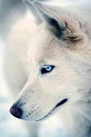 white husky wolf mix with blue eyes. Interesting Mix An Amazing White Wolf With Electric Blue Eyes To White Husky Wolf Mix With Blue Eyes