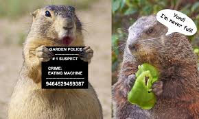 how to keep groundhogs out of my garden. Unique Keep A Groundhog Can Quickly Devour A Vegetable Garden In How To Keep Groundhogs Out Of My Garden U