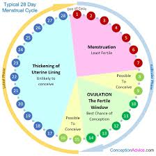 Typical Menstrual Cycle Chart Menstrual Cycle Calendar And Phases Conception Advice